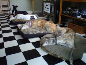 golden state greyhound adoption > greyhound photo galleries > fun pix